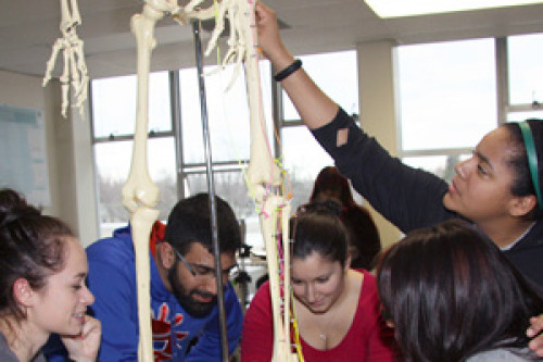 Students examining a skeleton in the anatomy lab
